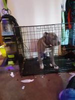 American Bully Puppies for sale in Dade City, FL, USA. price: NA