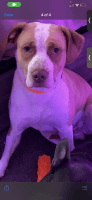 American Bully Puppies for sale in Columbia, TN 38401, USA. price: NA