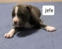 American Bully Puppies for sale in Odessa, TX, USA. price: NA
