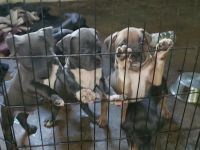 American Bully Puppies for sale in Painesville, OH 44077, USA. price: NA