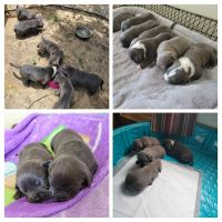 American Bully Puppies for sale in Pensacola, FL, USA. price: NA