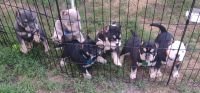 American Bully Puppies for sale in Brainerd, MN 56401, USA. price: NA