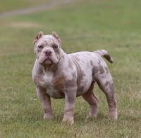 American Bully Puppies for sale in Demopolis, AL, USA. price: NA