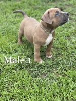 American Bully Puppies for sale in New Bern, NC 28562, USA. price: NA
