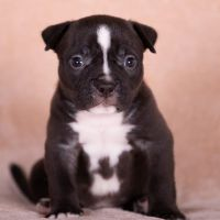 American Bully Puppies for sale in Los Angeles, CA, USA. price: NA