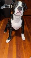 American Bully Puppies for sale in New Bedford, MA, USA. price: NA