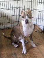 American Bully Puppies for sale in Friendswood, TX, USA. price: NA