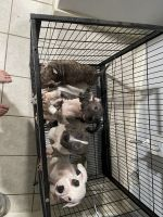 American Bully Puppies for sale in Culebra Rd & Les Harrison Dr, San Antonio, TX 78250, USA. price: NA