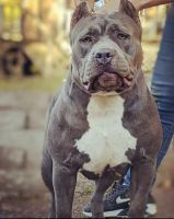 American Bully Puppies for sale in Woodward, OK 73801, USA. price: NA