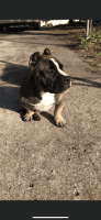 American Bully Puppies for sale in Orlando, FL, USA. price: NA