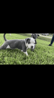 American Bully Puppies for sale in Houston, TX, USA. price: NA