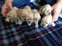 American Cocker Spaniel Puppies for sale in Elkton, MD 21921, USA. price: NA