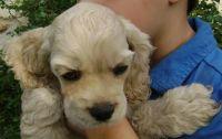 American Cocker Spaniel Puppies for sale in San Antonio, TX, USA. price: NA