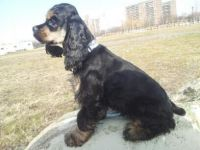 American Cocker Spaniel Puppies for sale in Brooklyn, NY, USA. price: NA