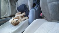 American Cocker Spaniel Puppies for sale in El Paso, TX, USA. price: NA