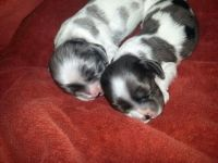 American Cocker Spaniel Puppies for sale in Jefferson, WI 53549, USA. price: NA