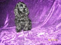 American Cocker Spaniel Puppies for sale in Kingman, AZ, USA. price: NA