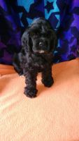 American Cocker Spaniel Puppies for sale in Wisconsin, USA. price: NA