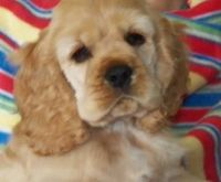 American Cocker Spaniel Puppies for sale in Pleasantville, PA 16341, USA. price: NA