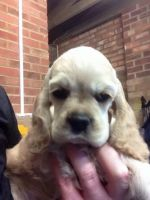 American Cocker Spaniel Puppies for sale in Round Rock, TX, USA. price: NA