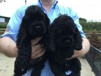 American Cocker Spaniel Puppies for sale in Monroeville, OH 44847, USA. price: NA