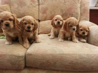 American Cocker Spaniel Puppies for sale in Carlsbad, CA, USA. price: NA