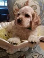 American Cocker Spaniel Puppies for sale in Los Angeles, CA, USA. price: NA
