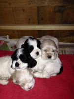 American Cocker Spaniel Puppies for sale in Springfield, MA, USA. price: NA