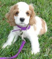 American Cocker Spaniel Puppies for sale in Little Rock, AR, USA. price: NA