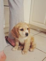 American Cocker Spaniel Puppies for sale in Cliffside Park, NJ, USA. price: NA