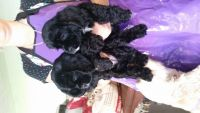 American Cocker Spaniel Puppies for sale in Tampa, FL, USA. price: NA