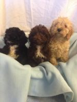 American Cocker Spaniel Puppies for sale in Georgetown, GA, USA. price: NA