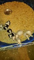American Cocker Spaniel Puppies for sale in Apple Valley, CA, USA. price: NA