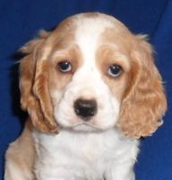 American Cocker Spaniel Puppies for sale in Canton, OH, USA. price: NA