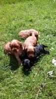 American Cocker Spaniel Puppies for sale in Atqasuk, AK 99791, USA. price: NA