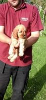 American Cocker Spaniel Puppies for sale in Columbus, OH, USA. price: NA