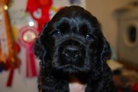 American Cocker Spaniel Puppies for sale in Atlanta, GA, USA. price: NA