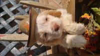 American Cocker Spaniel Puppies for sale in Salem, OH 44460, USA. price: NA