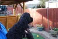 American Cocker Spaniel Puppies for sale in United States. price: NA