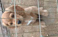 American Cocker Spaniel Puppies for sale in San Bernardino, CA, USA. price: NA