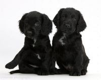 American Cocker Spaniel Puppies for sale in Missiouri CC, Elsberry, MO 63343, USA. price: NA