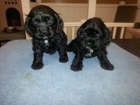 American Cocker Spaniel Puppies for sale in Lehigh Acres, FL, USA. price: NA
