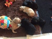 American Cocker Spaniel Puppies for sale in Norwalk, CA, USA. price: NA