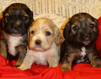 American Cocker Spaniel Puppies for sale in Missoula, MT, USA. price: NA