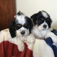 American Cocker Spaniel Puppies for sale in Washington, DC, USA. price: NA