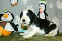 American Cocker Spaniel Puppies for sale in Seattle, WA, USA. price: NA