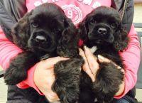 American Cocker Spaniel Puppies for sale in Dallas, TX, USA. price: NA