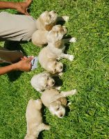 American Cocker Spaniel Puppies for sale in Riverside, CA, USA. price: NA