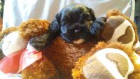 American Cocker Spaniel Puppies for sale in Kissimmee, FL, USA. price: NA