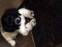 American Cocker Spaniel Puppies for sale in Morrow, GA 30260, USA. price: NA